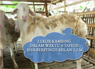 ternak kambing hcs jadi jutawan