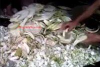 Cara Membuat Pakan Fermentasi Kambing dari Gedebog Batang Pohon Pisang