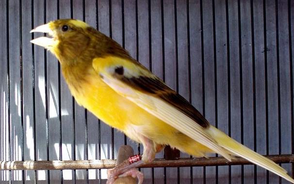 Ternak burung kenari dengan SOC