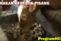 soc hcs untuk sapi
