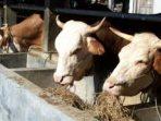 soc hcs untuk ternak sapi