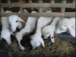 Aplikasi SOC HCS untuk ternak