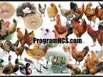 Cara Membuat Pakan Fermentsi Untuk Ayam Dengan Campuran SOC