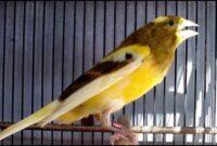 Suara Burung Kenari Gacor Kicau Panjang - Download Koleksi Juara
