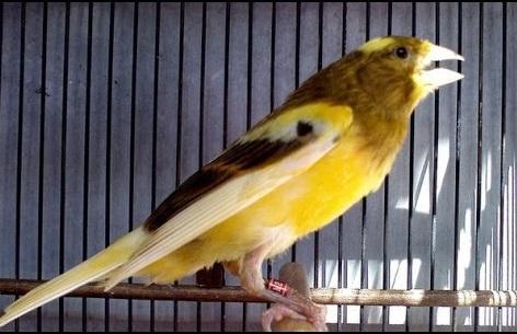 Suara Burung Kenari Gacor Kicau Panjang tanpa putus