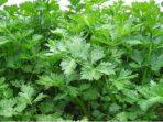 Aplikasi Suplemen Organik Tanaman (SOT) Untuk Seledri