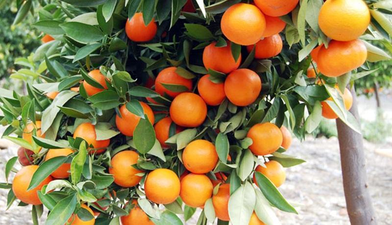 Aplikasi Suplemen Organik Tanaman (SOT) HCS Untuk Jeruk