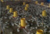 Suplemen Organik Cair SOC untuk Ayam Potong