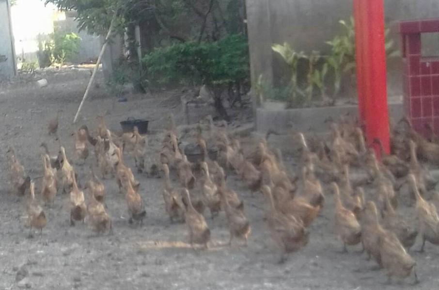 SOC HCS untuk ternak Bebek