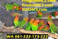 SOC HCS untuk Lovebird