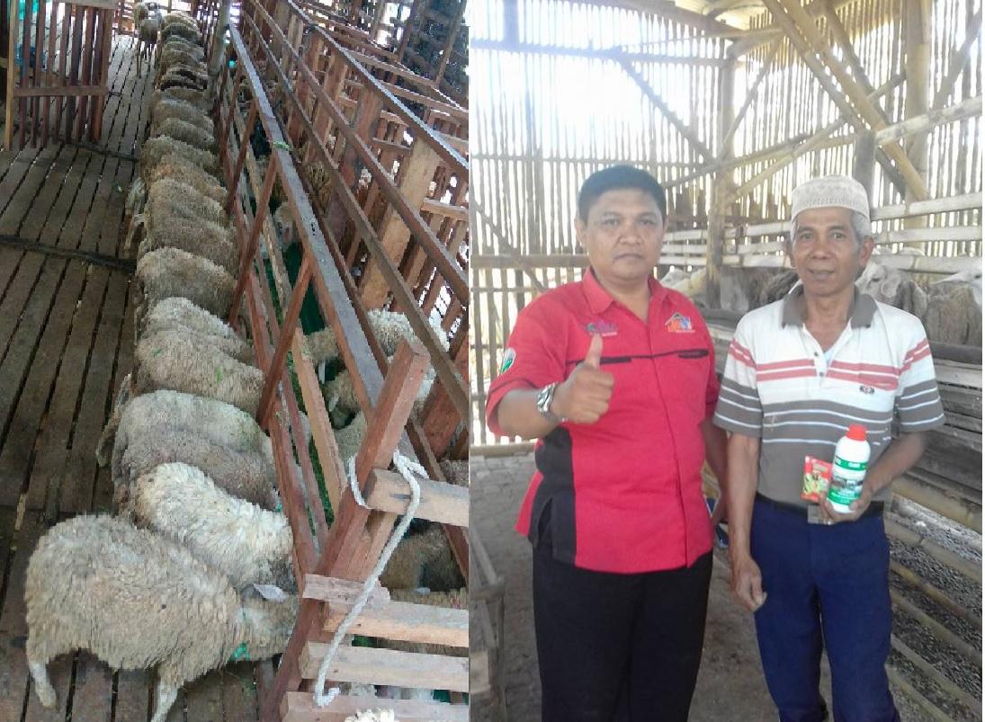 pakan fermentasi untuk kambing bunting