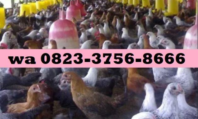 jual Nogososro Sabuk Inten untuk Ayam Petelur