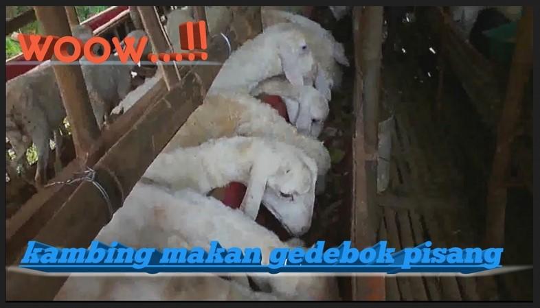 fermentasi kedebok pisang untuk kambing
